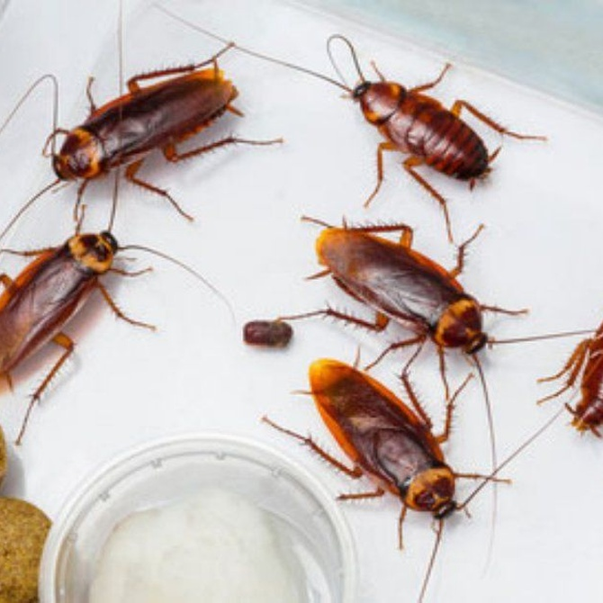 La lucha eficaz contra las cucarachas
