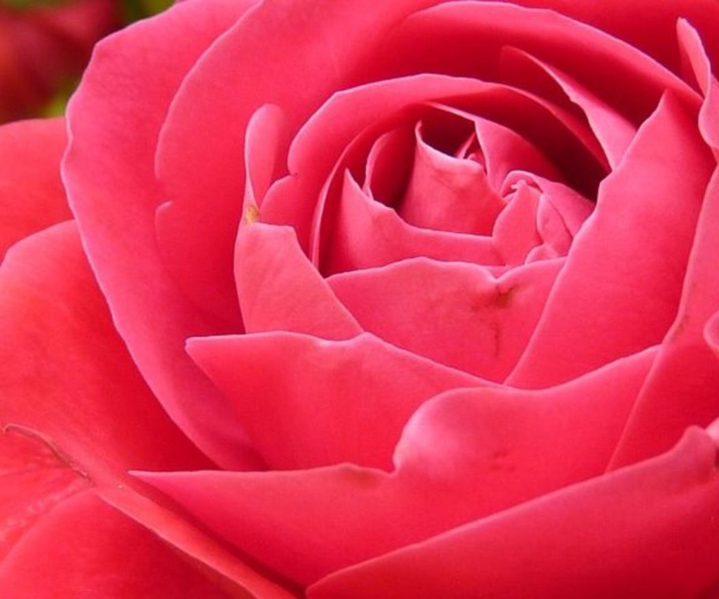 ¿Cómo secar una rosa correctamente?