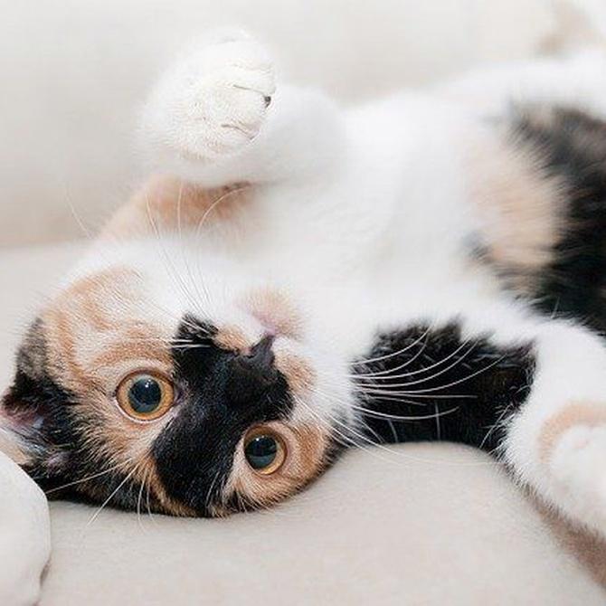 Cómo cuidar a tu gato esterilizado