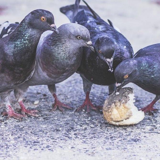 Las palomas también son un peligro para la salud