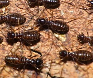 Principales tipos de termitas
