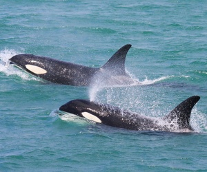 Avistamiento de Orcas en Tarifa