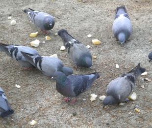 Palomas y otras aves