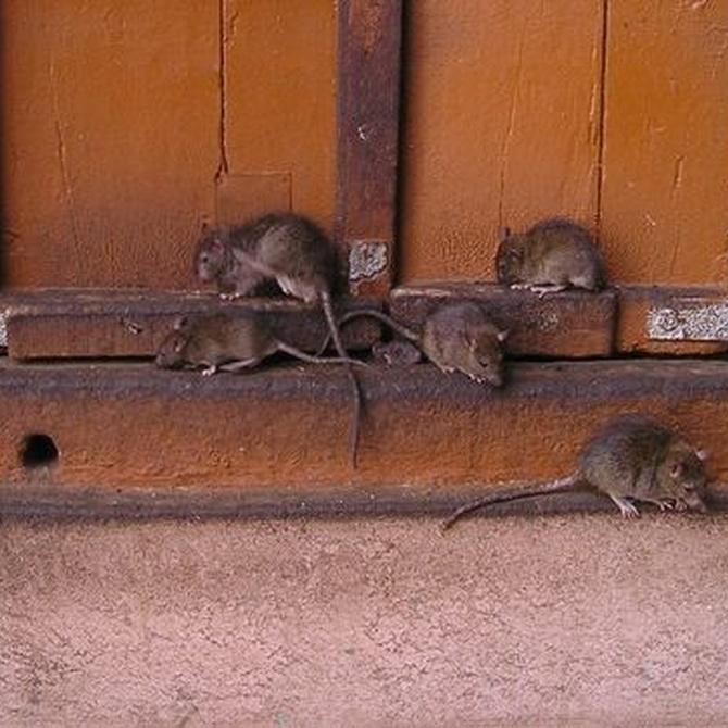 Cómo evitar a esos temidos roedores