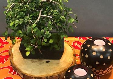 bonsai zelkova 6 años