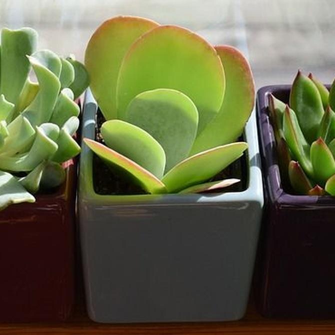 Cómo cuidar de las plantas suculentas