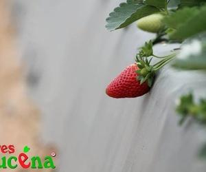 Nuestras fresas
