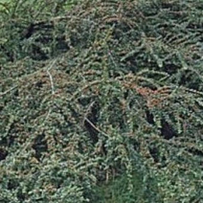 Cotoneaster: Productos de Danimayos Crea Tu Jardin
