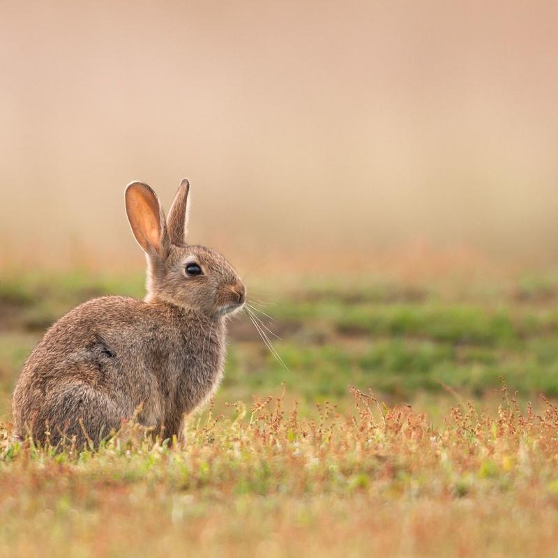 Venta de conejos de campo vivos