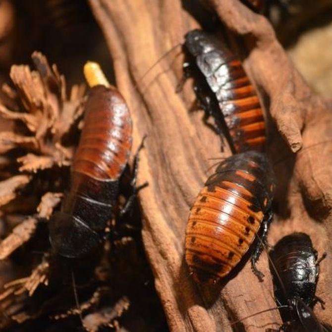 Las cucarachas, maestras de la supervivencia