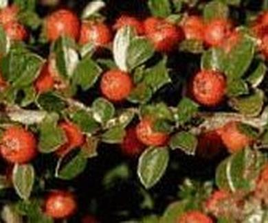 Cotoneaster conspicuus Ref. 11 ( Arbusto )