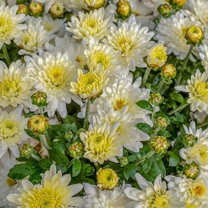 Las mejores flores para Difuntos