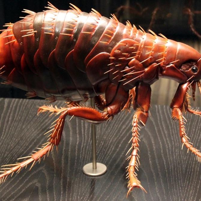 ¿Qué sabes de las pulgas?
