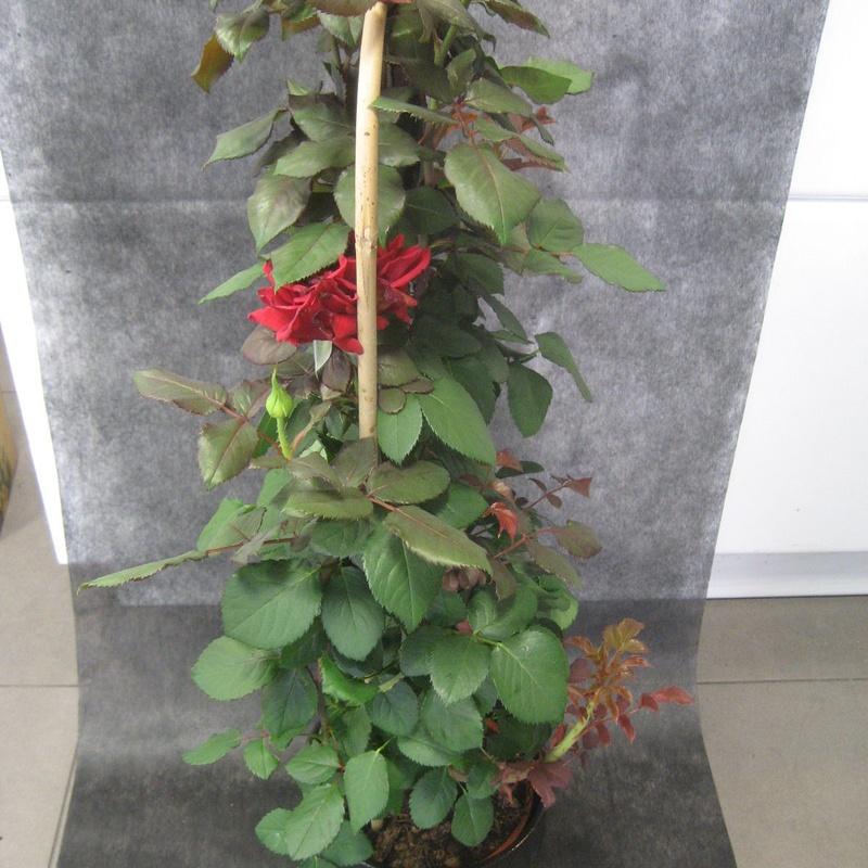 Rosal Rojo: Nuestras flores de Bouquet Flores y Plantas