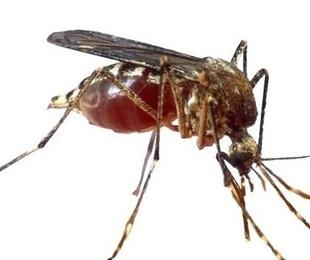 Sanidad presenta su plan de coordinación para frenar al mosquito tigre