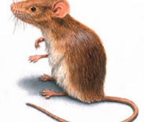 DESRATIZACIONES ALICANTE: Control de roedores, ratas y ratones
