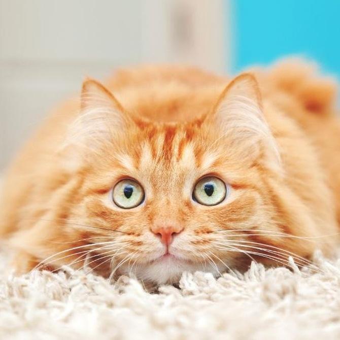 El estrés en los gatos: síntomas y causas