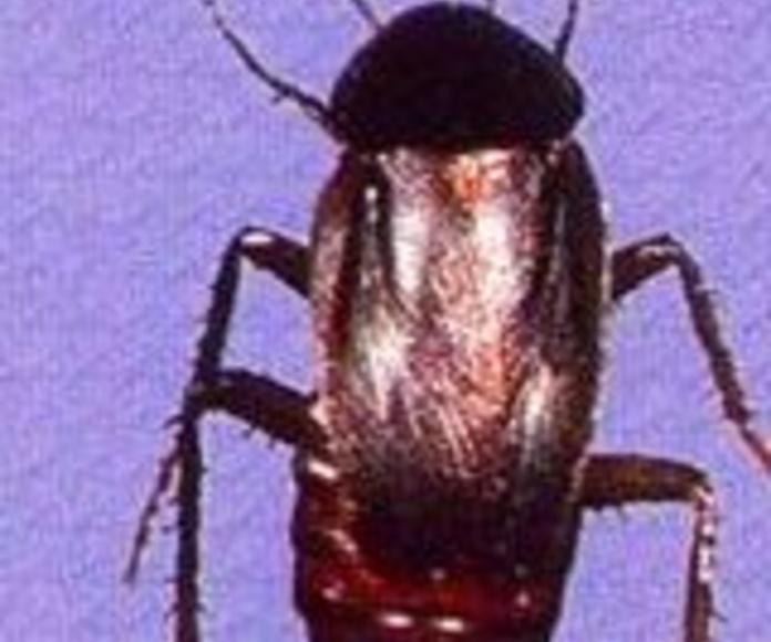 Cucarachas 1