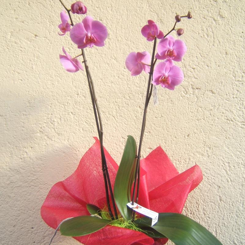 orquidea fhaleopnosis malva MADRID CENTRO