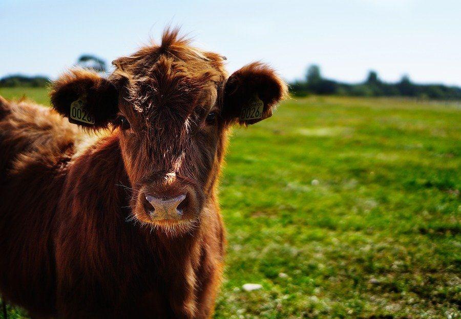 Algunos datos curiosos sobre las vacas