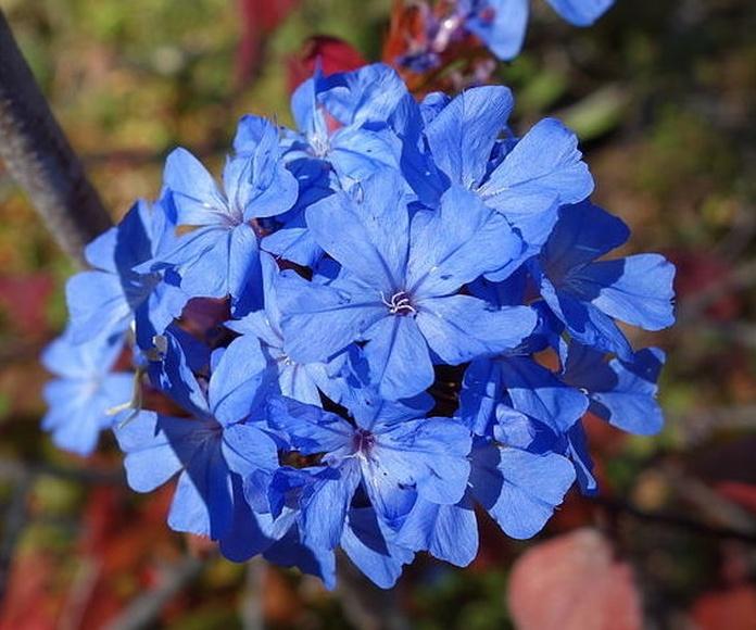 Ceratostigma - Flor de Bach  : Terapias de Terapias Alternativas Isabel