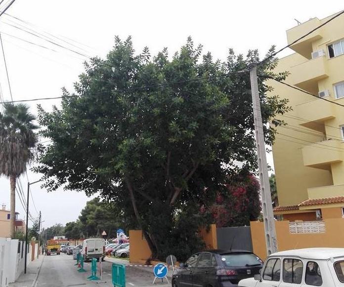 Tala de árbol para el ayuntamiento de Ibiza