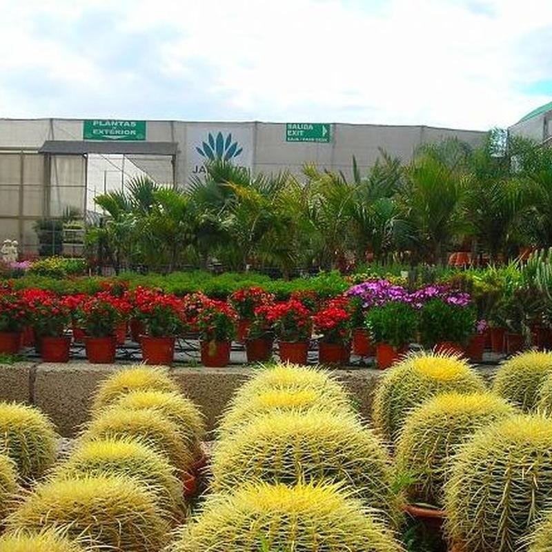 Plantas de exterior. Cactus y suculentas. Variedad de palmeras