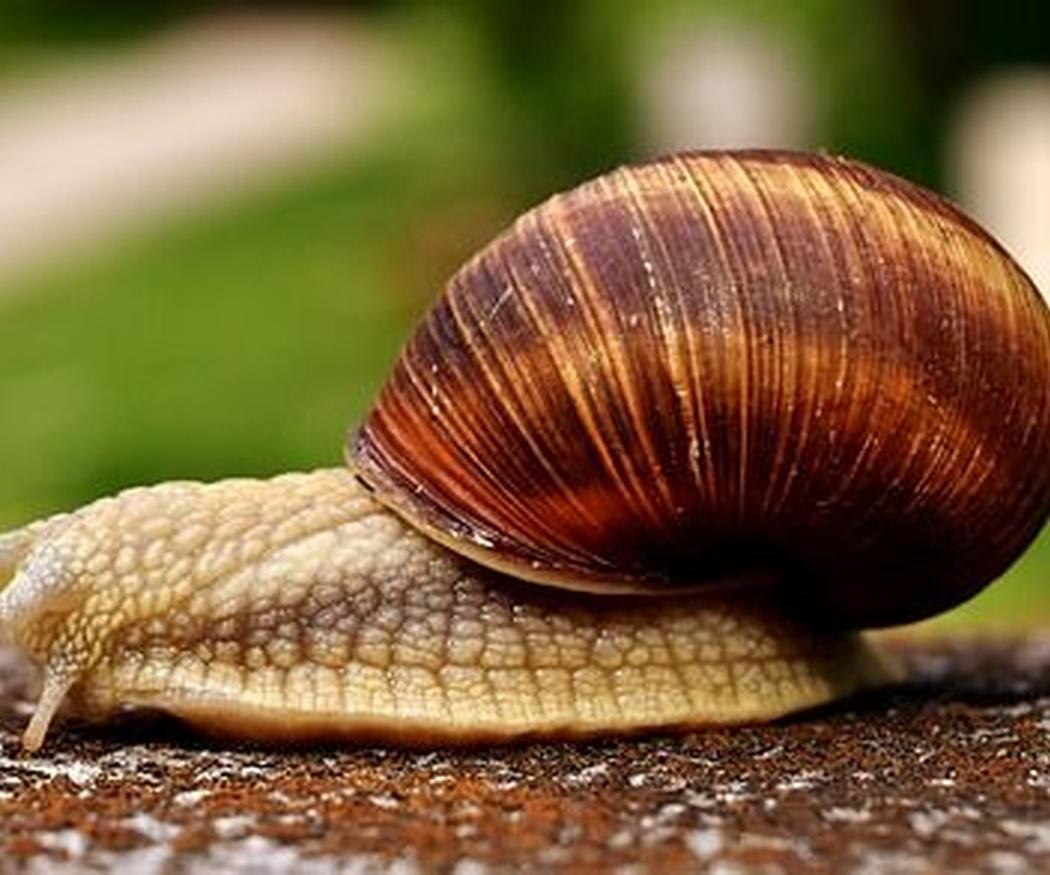 Las propiedades nutritivas de los caracoles