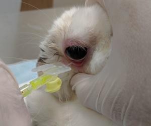 Obstrucción conducto lacrimal en conejos