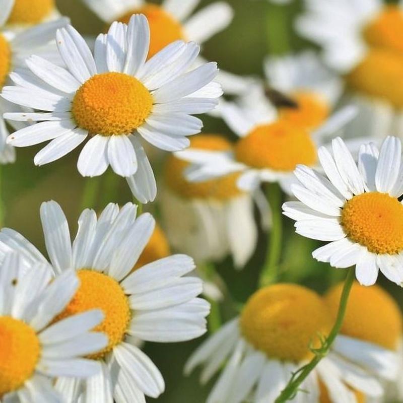 Plantas medicinales: Productos de Casa Santiveri