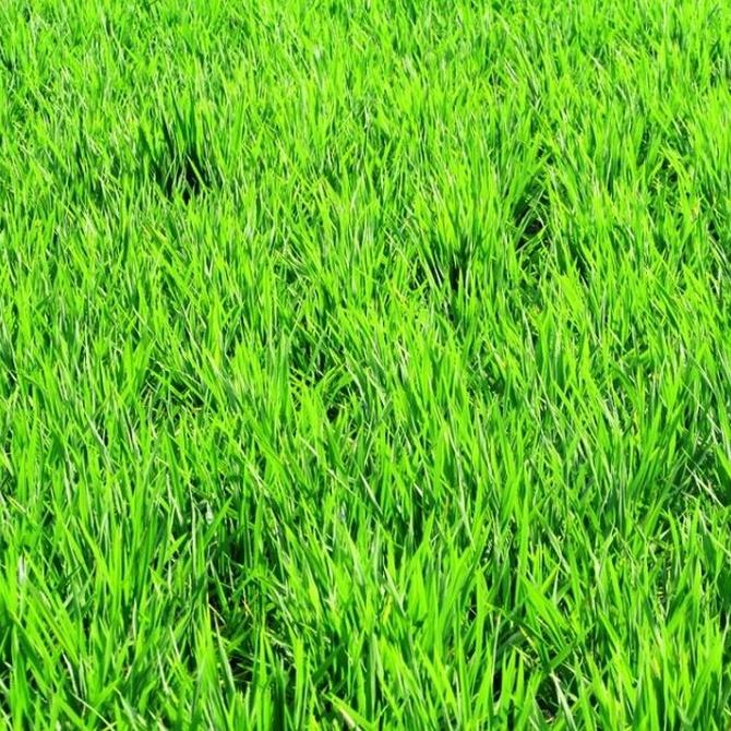El cultivo del arroz en la Albufera de Valencia