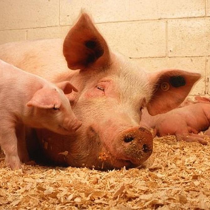 ¿Cuánto sabes sobre los cerdos? Algunas cosas curiosas
