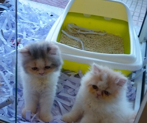 Gatitos persas disponibles