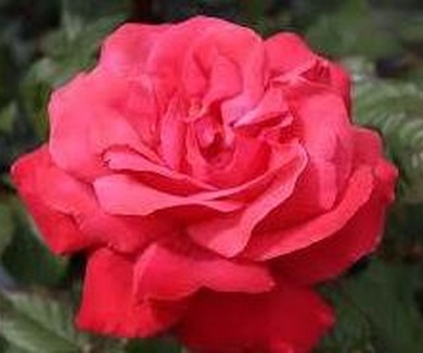 ROSA 'Galway Bay'