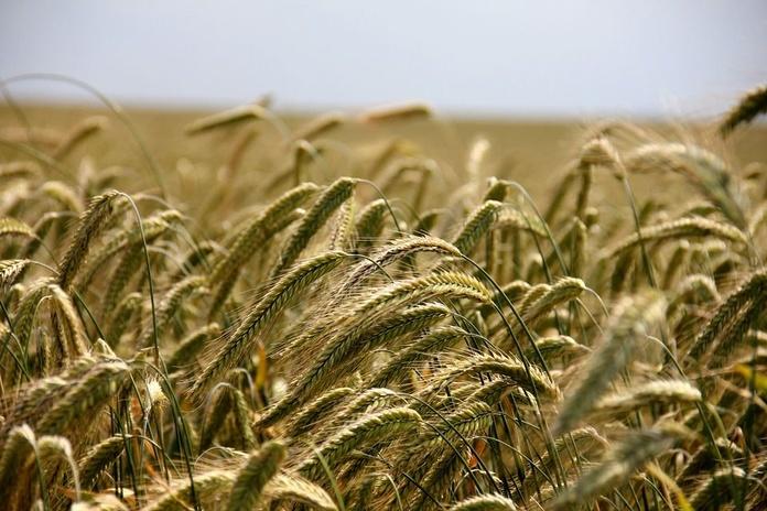 Cultivo y comercialización de semillas de centeno híbrido en Valladolid