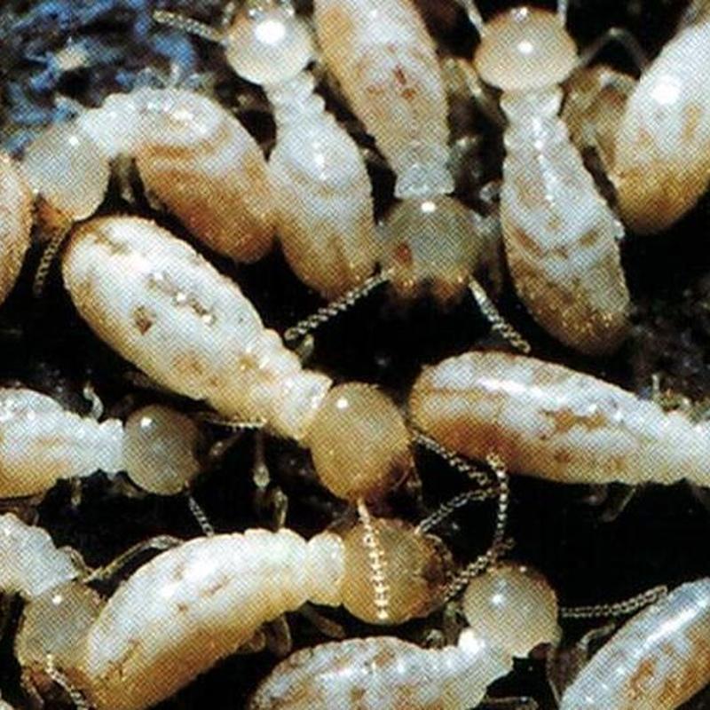 termitas obreras