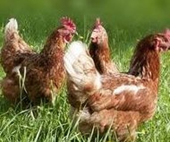 Nuestro producto: Productos y servicios de Avícola San Blas, S.L.