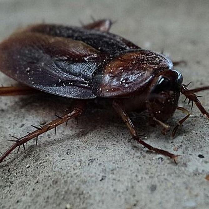 ¿Por qué aparecen las cucarachas?