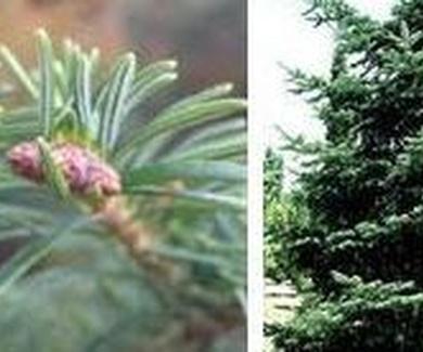 ABIES ALBA Ref. 10 ( planta medicinal )
