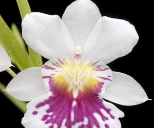 Orquídea del Ángel de la Guarda