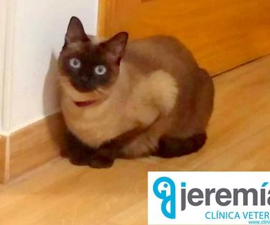 Aviso urgente: Gato perdido, si alguno lo encuentra, se acerque a la clínica veterinaria Jeremías