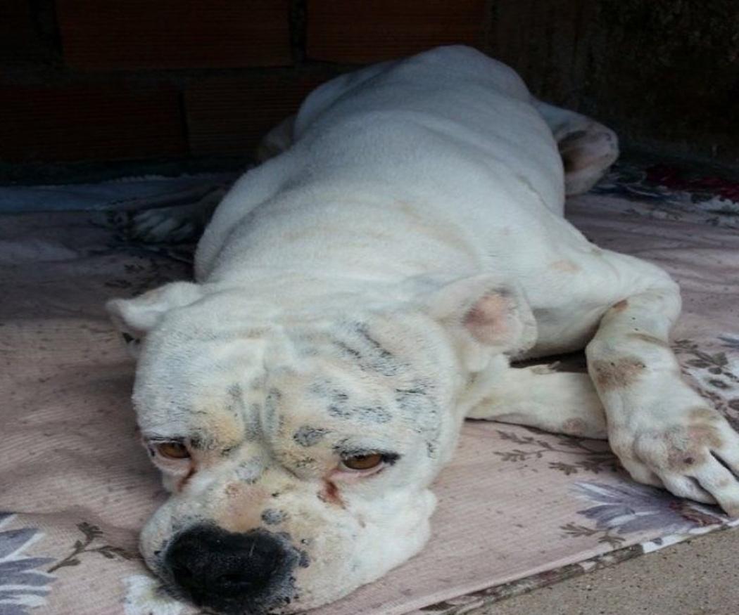 Los síntomas habituales de la leishmaniasis en los perros