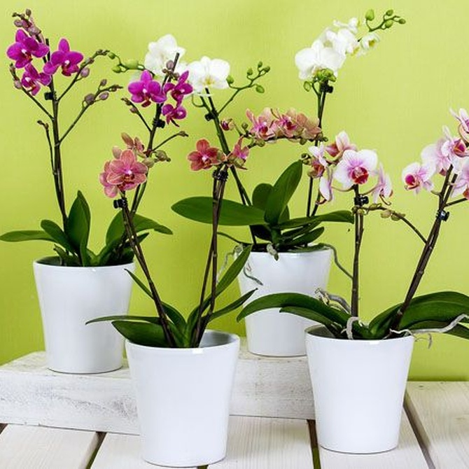 Orquídeas, las flores más delicadas