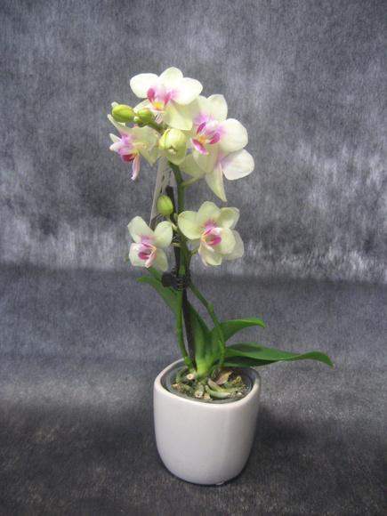 Orchids Minis (Orquidea mini): Nuestras flores de Bouquet Flores y Plantas