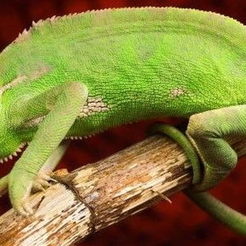Camaleón Calyptratus: Catálogo de Reptil Parc