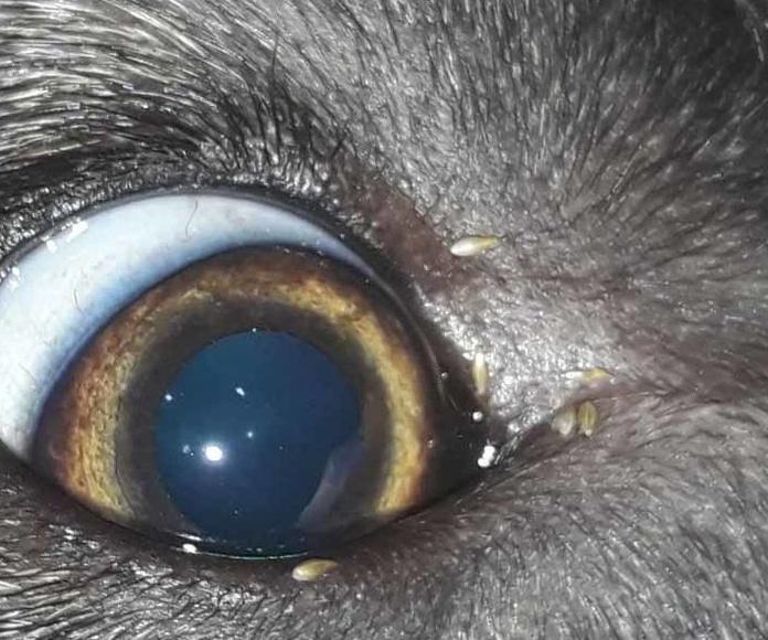 Este perro ha venido lleno de piojos de una especie que vemos con muy poca frecuencia.