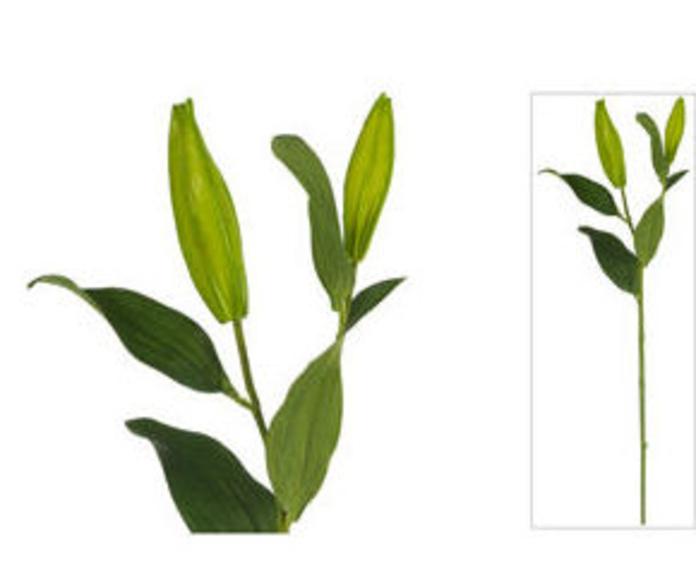 Vara Cap.Lilium X2 Jardín