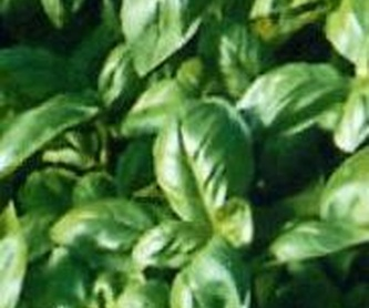 Cotoneaster granatensis Ref. 5: Productos de Danimayos Crea Tu Jardin