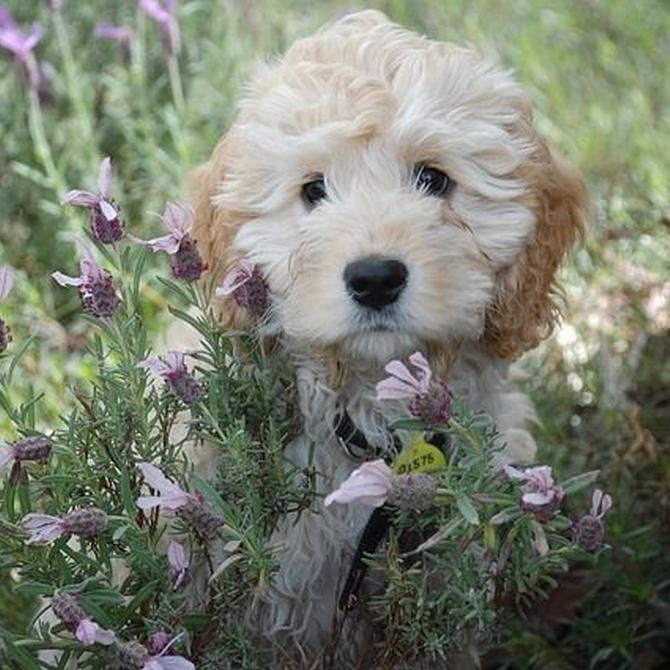 Los arreglos de pelo de las principales razas caninas