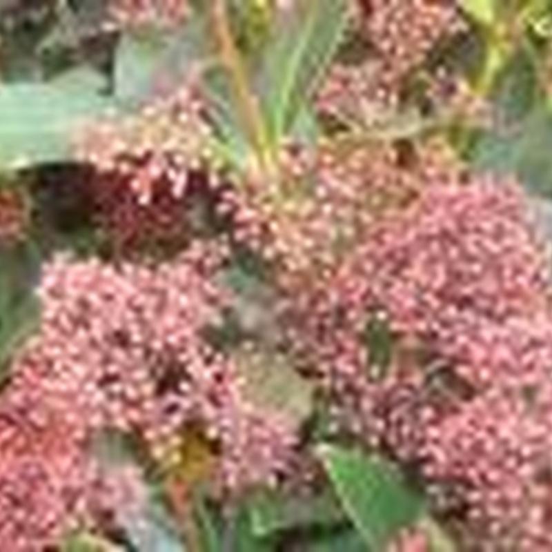 Arbustos: Plantas y complementos de Viveros Cidoncha